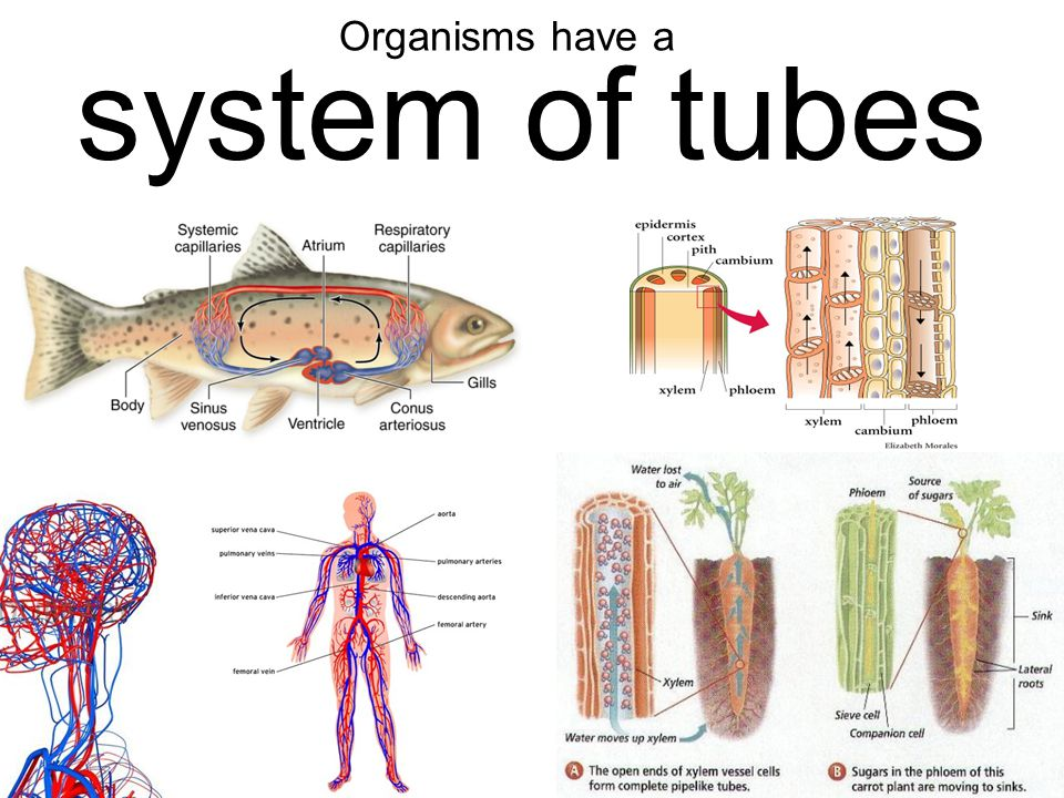 Organisms have a system of tubes