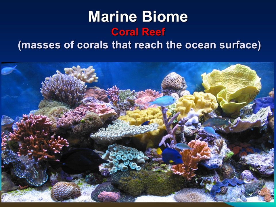 Marine Biome Coral Reef (masses of corals that reach the ocean surface)