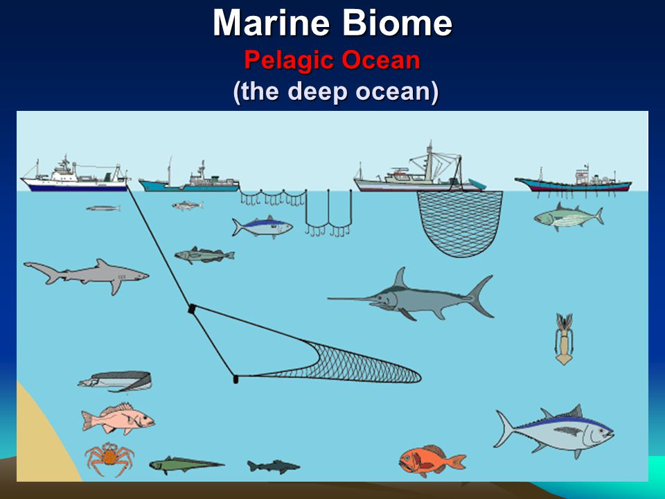 Marine Biome Pelagic Ocean (the deep ocean)