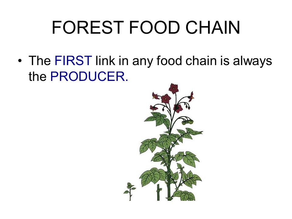 FOREST FOOD CHAIN The FIRST link in any food chain is always the PRODUCER.