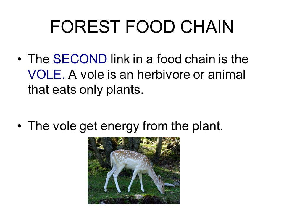 FOREST FOOD CHAIN The SECOND link in a food chain is the VOLE. A vole is an herbivore or animal that eats only plants.