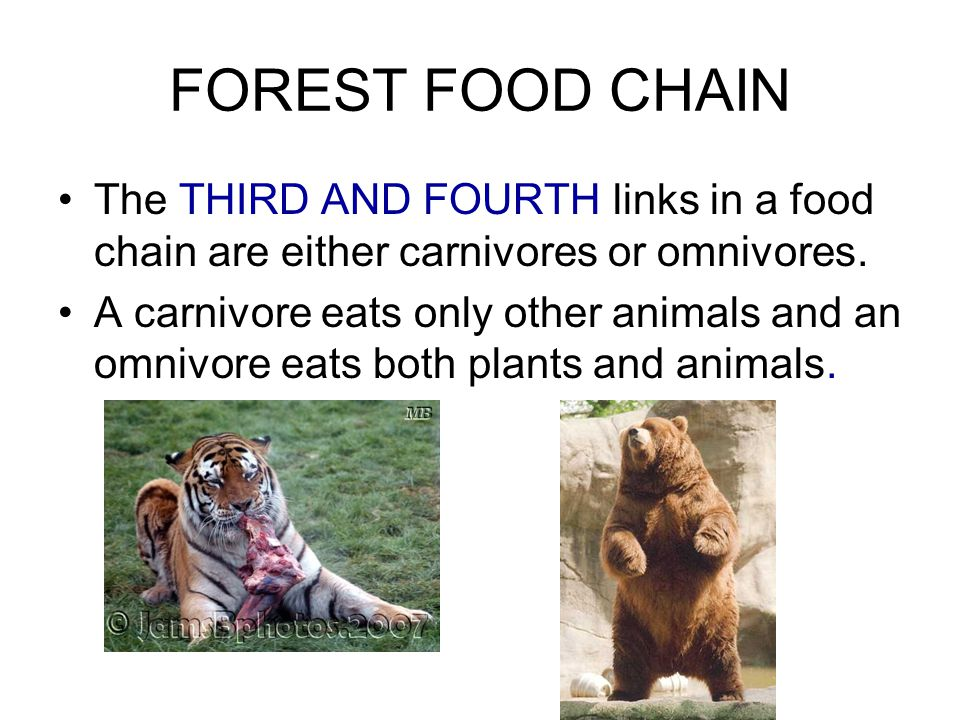 FOREST FOOD CHAIN The THIRD AND FOURTH links in a food chain are either carnivores or omnivores.