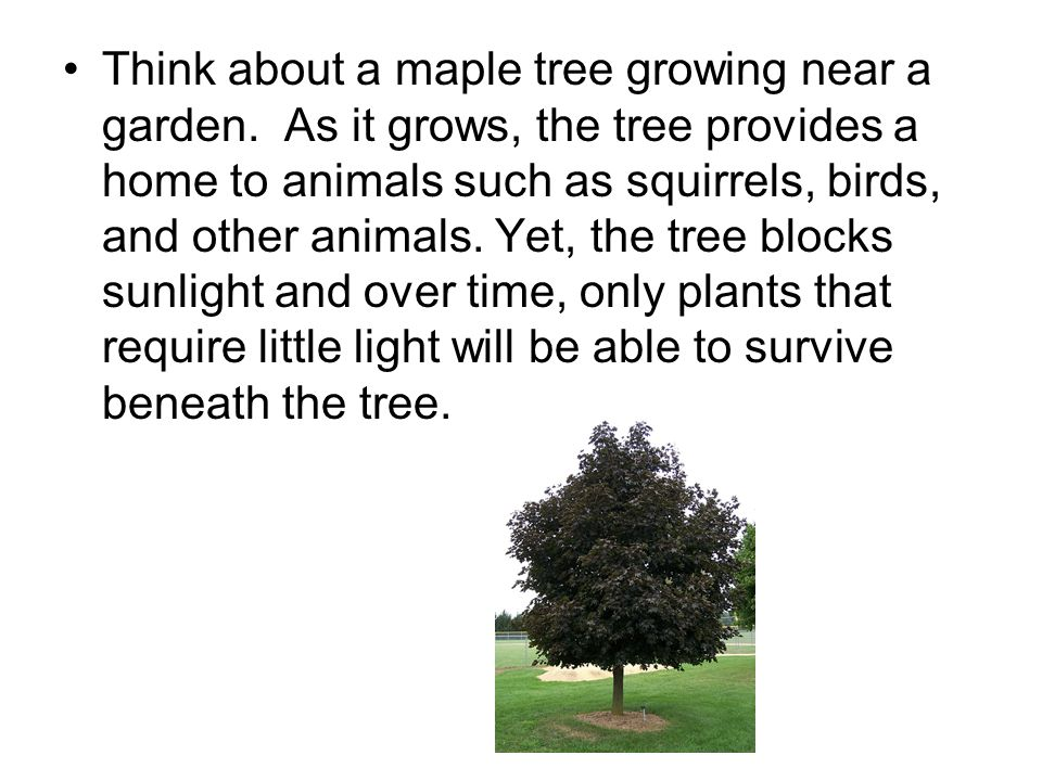 Think about a maple tree growing near a garden