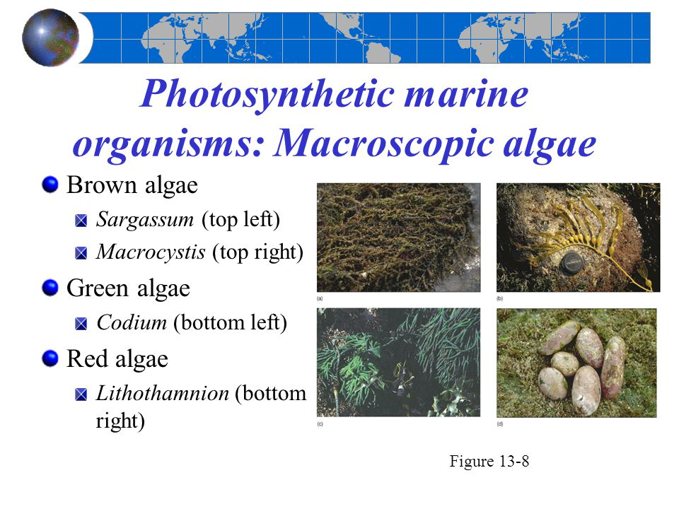 Photosynthetic marine organisms: Macroscopic algae