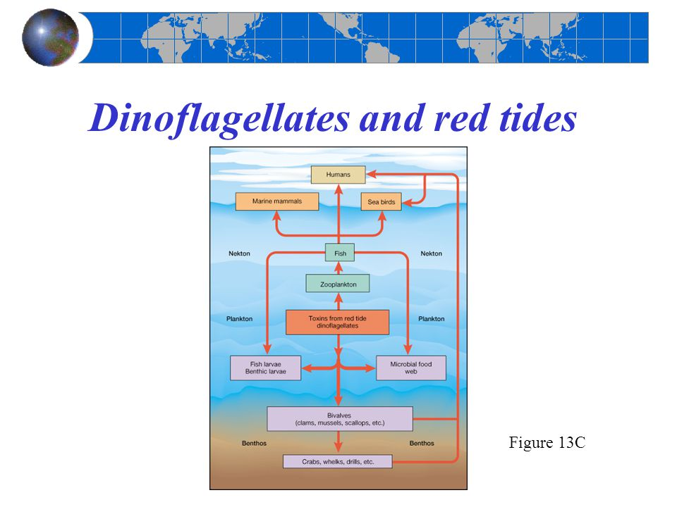 Dinoflagellates and red tides