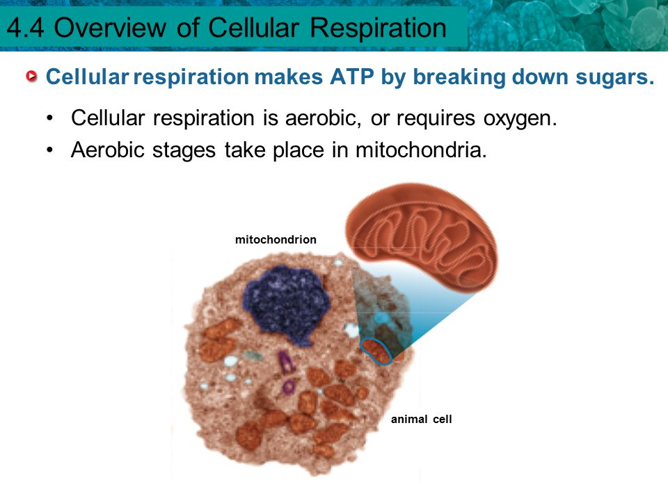 Cellular respiration makes ATP by breaking down sugars.