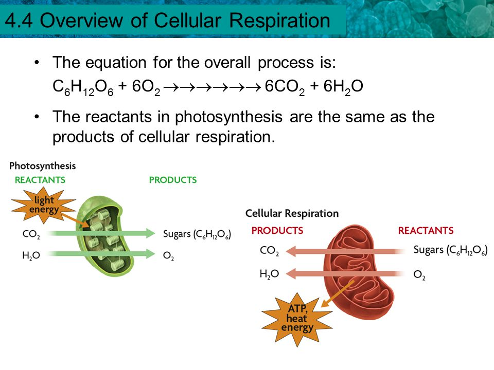 4.4 Overview of Cellular Respiration