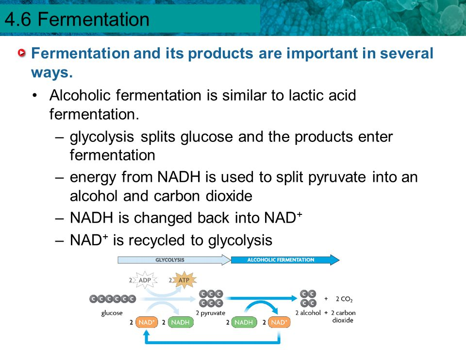 Fermentation and its products are important in several ways.
