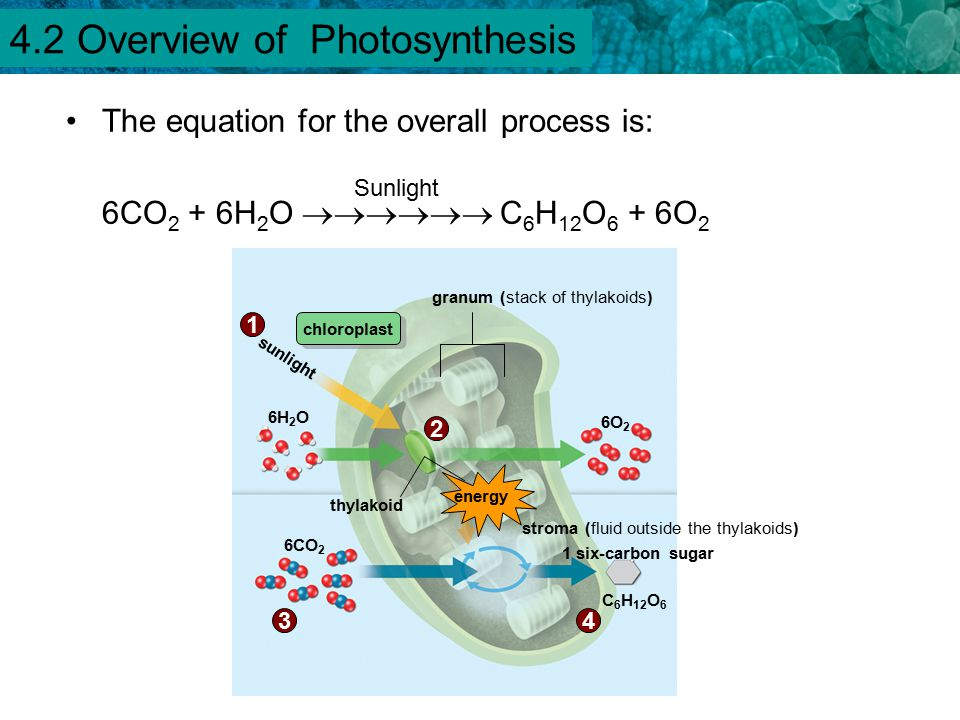an overview of the process of photosynthesis An overview of photosynthesis   photosynthesis, a process that converts solar energy to chemical energy – sugar is food for humans and for animals that we.