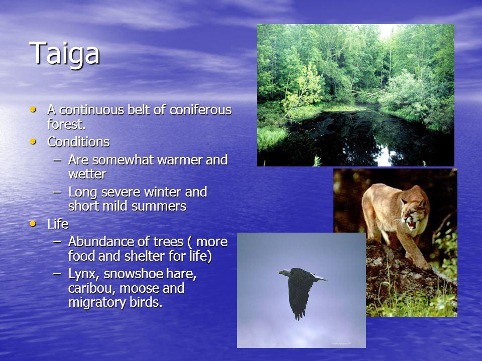 Taiga A continuous belt of coniferous forest. Conditions