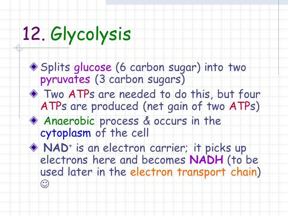 12. Glycolysis Splits glucose (6 carbon sugar) into two pyruvates (3 carbon sugars)