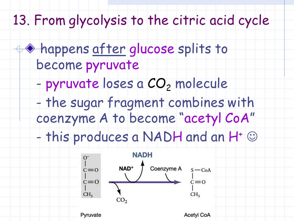 13. From glycolysis to the citric acid cycle