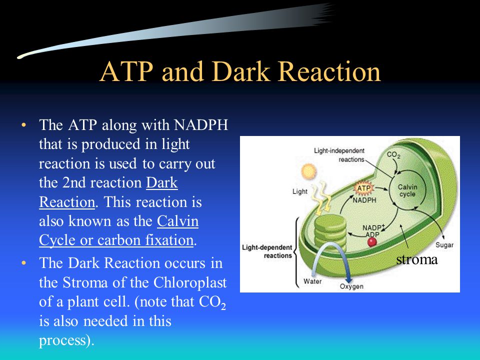 ATP and Dark Reaction