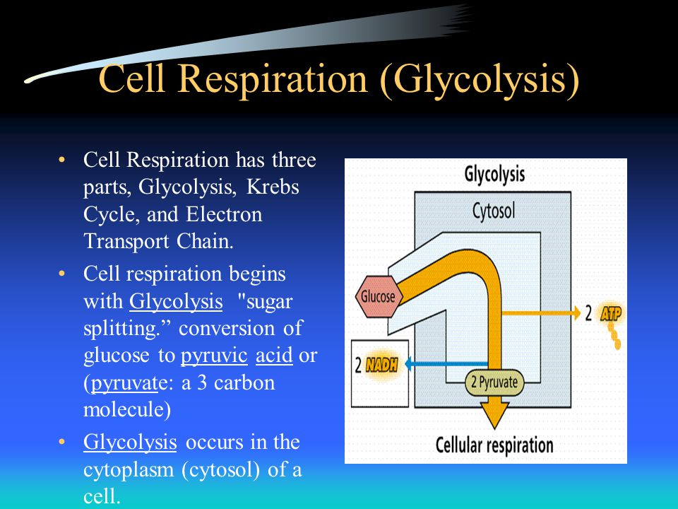 Cell Respiration (Glycolysis)