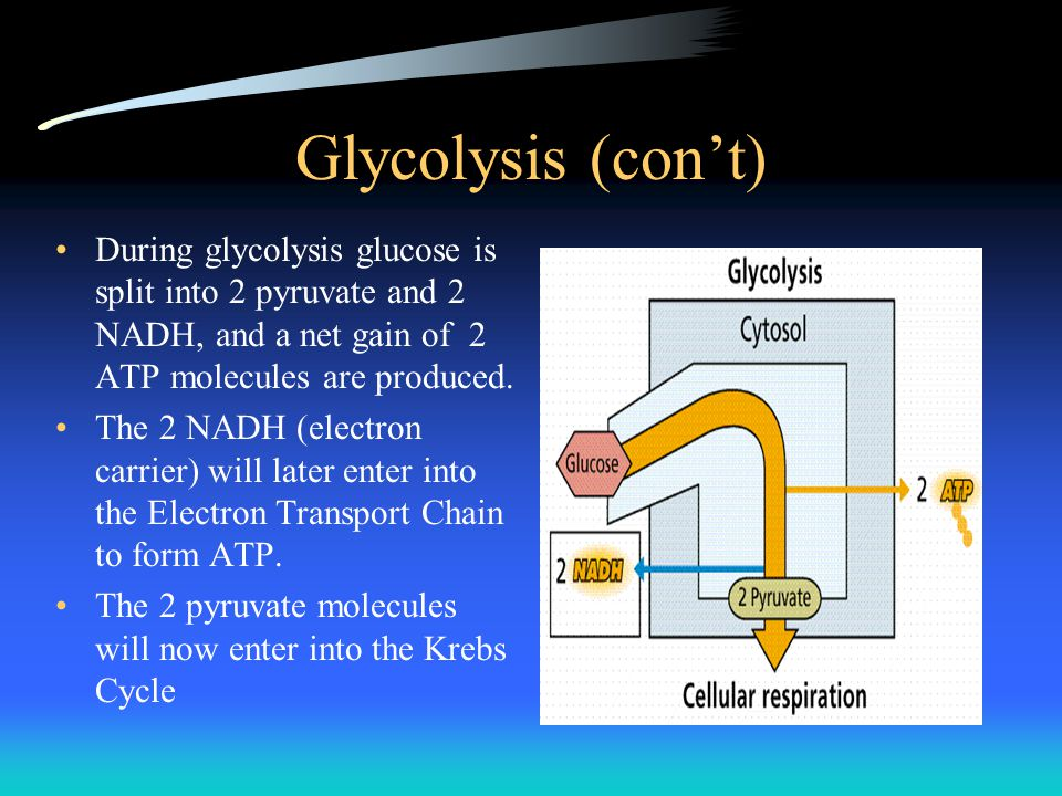 Glycolysis (con't) During glycolysis glucose is split into 2 pyruvate and 2 NADH, and a net gain of 2 ATP molecules are produced.