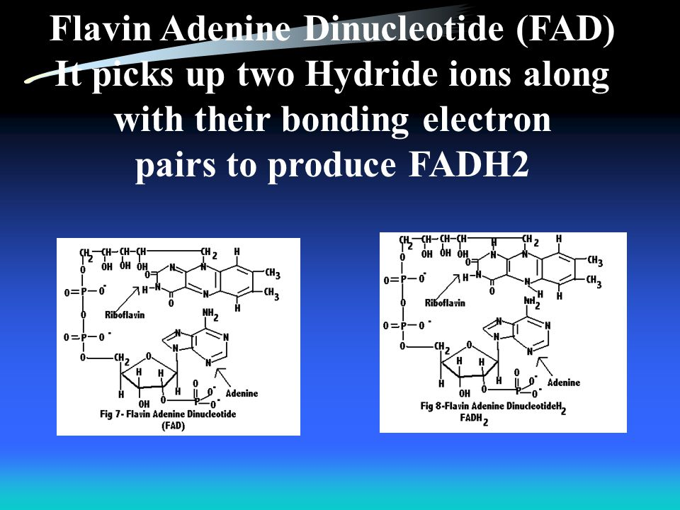Flavin Adenine Dinucleotide (FAD) It picks up two Hydride ions along
