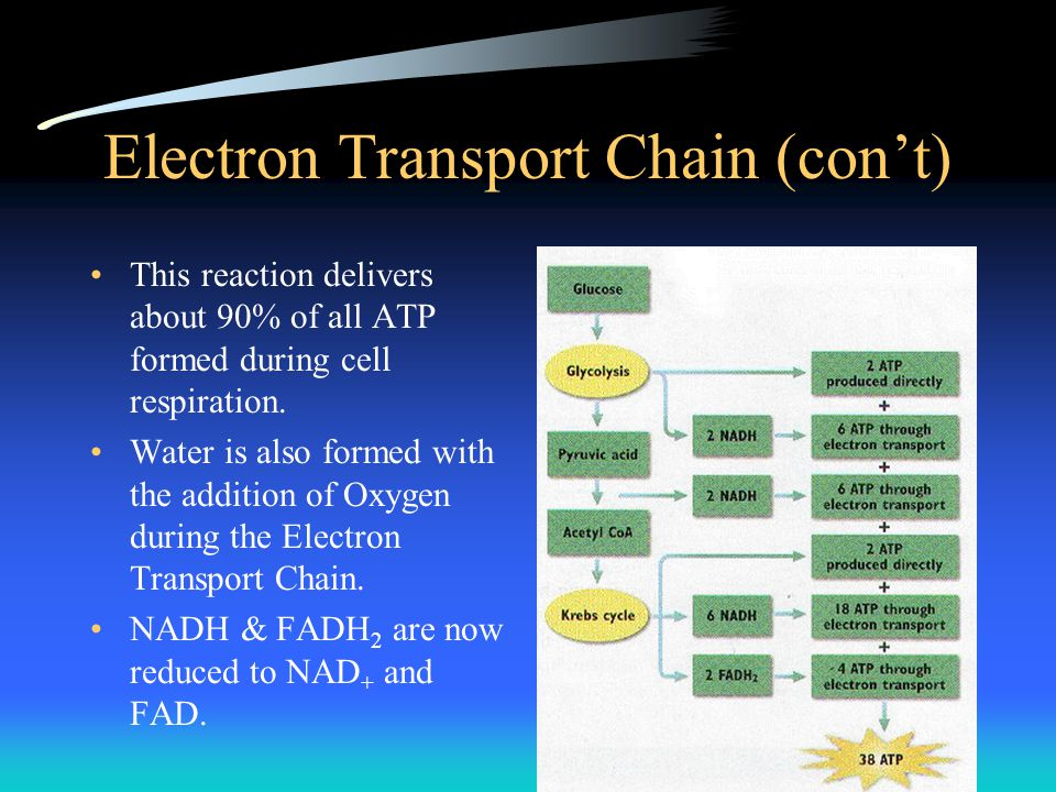 Electron Transport Chain (con't)