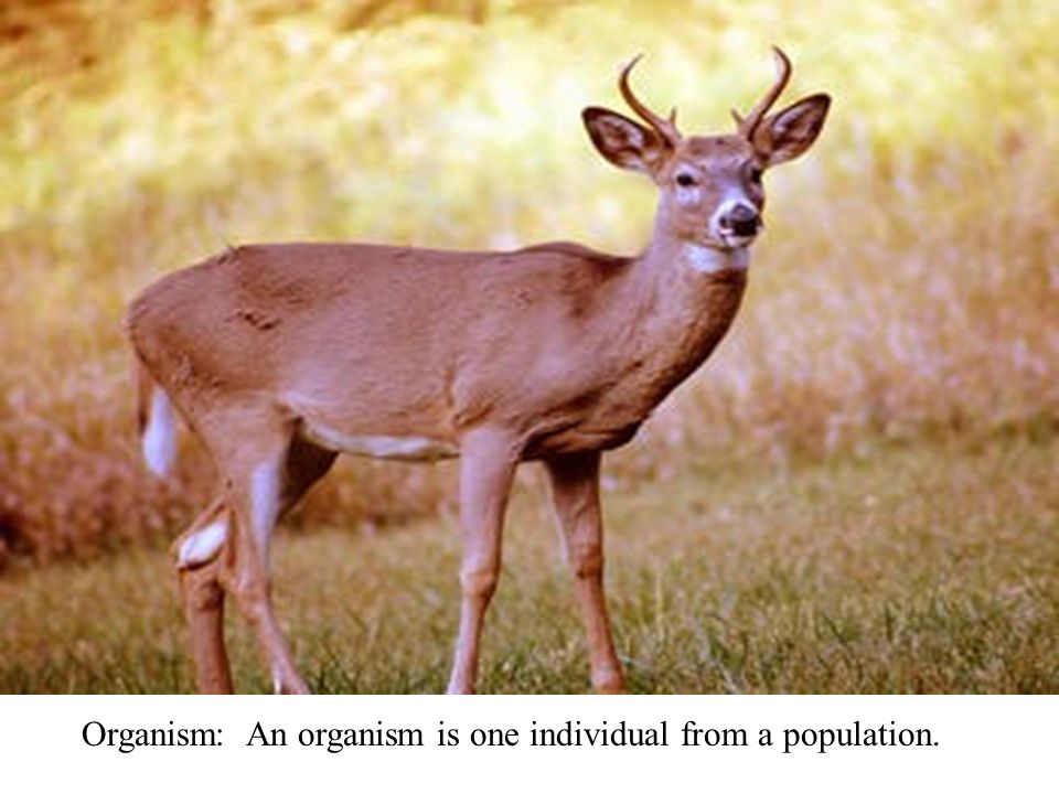 Organism: An organism is one individual from a population.