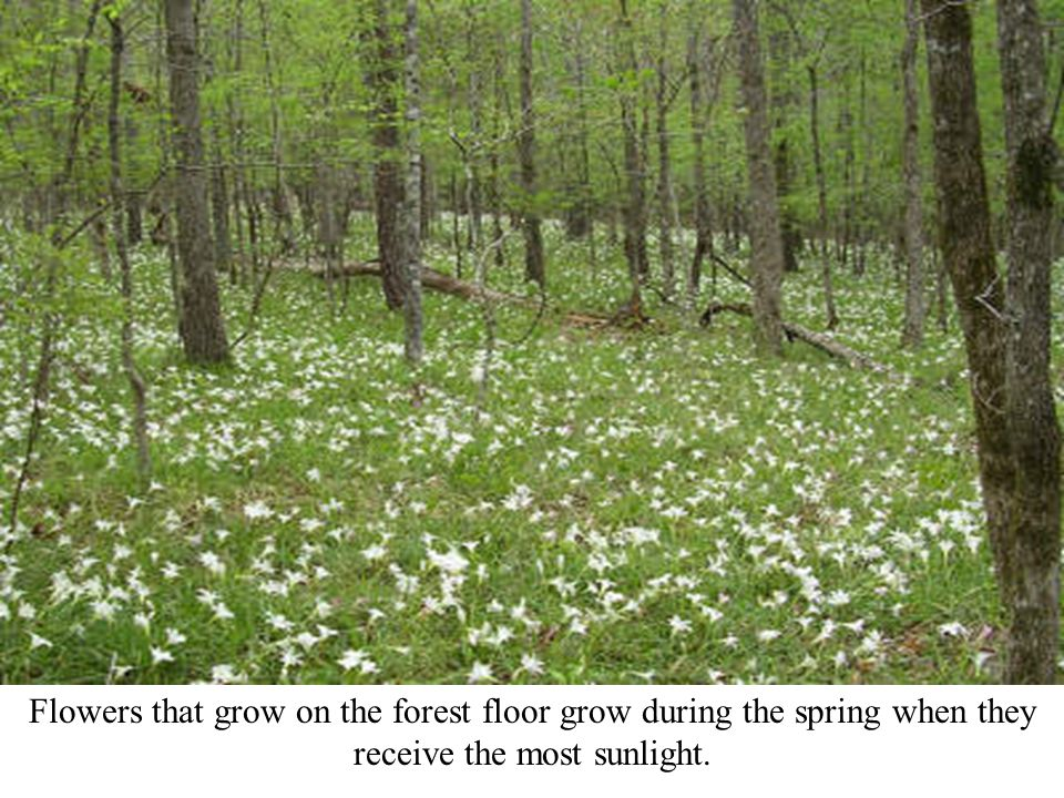 Flowers that grow on the forest floor grow during the spring when they receive the most sunlight.