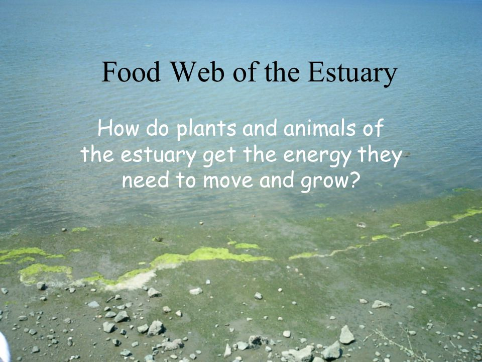 Food Web of the Estuary How do plants and animals of the estuary get the energy they need to move and grow