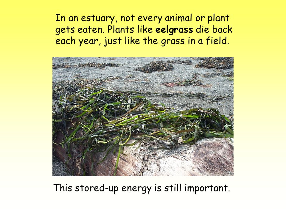 In an estuary, not every animal or plant gets eaten