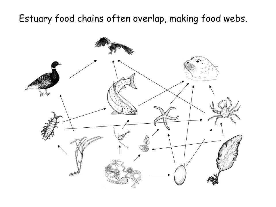 Estuary food chains often overlap, making food webs.