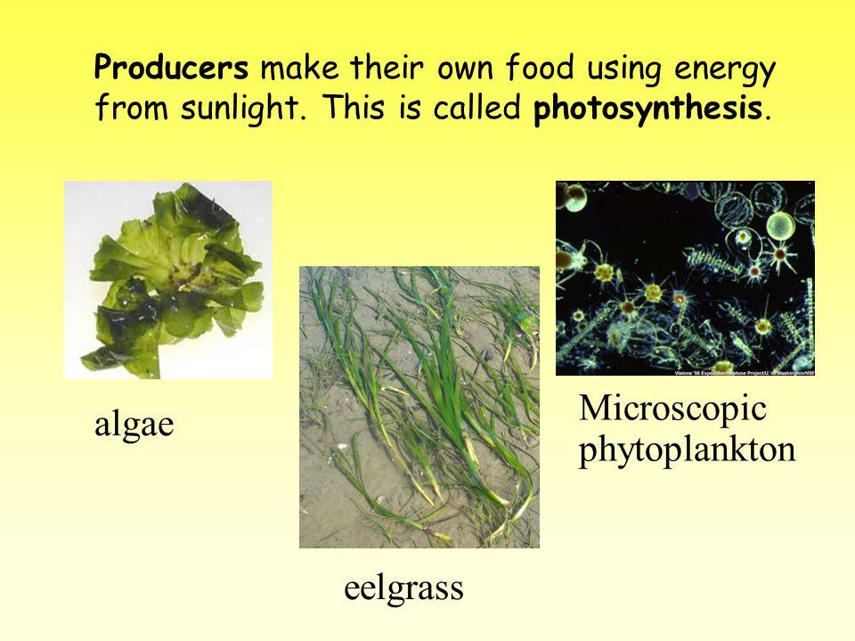 algae Microscopic phytoplankton eelgrass