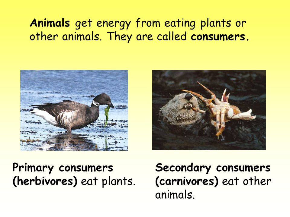 Animals get energy from eating plants or other animals