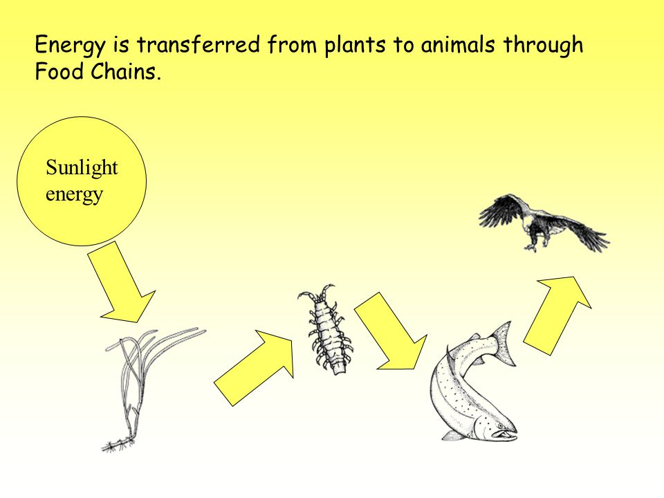 Energy is transferred from plants to animals through Food Chains.