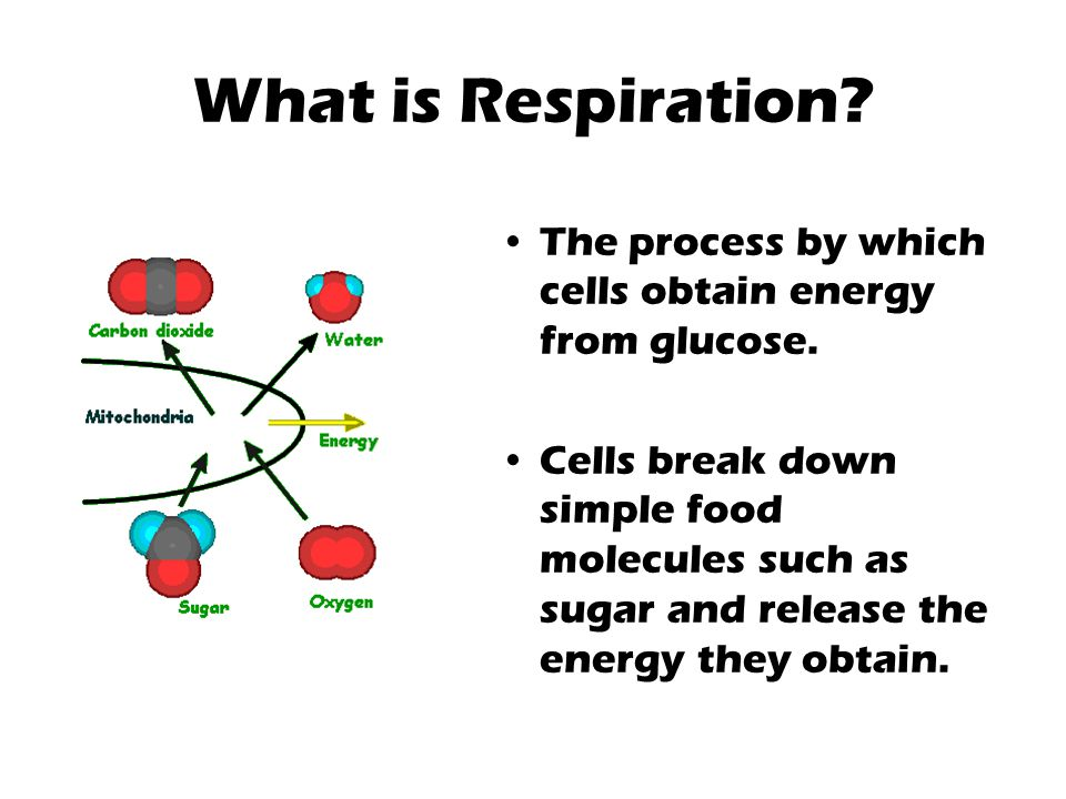 What is Respiration The process by which cells obtain energy from glucose.