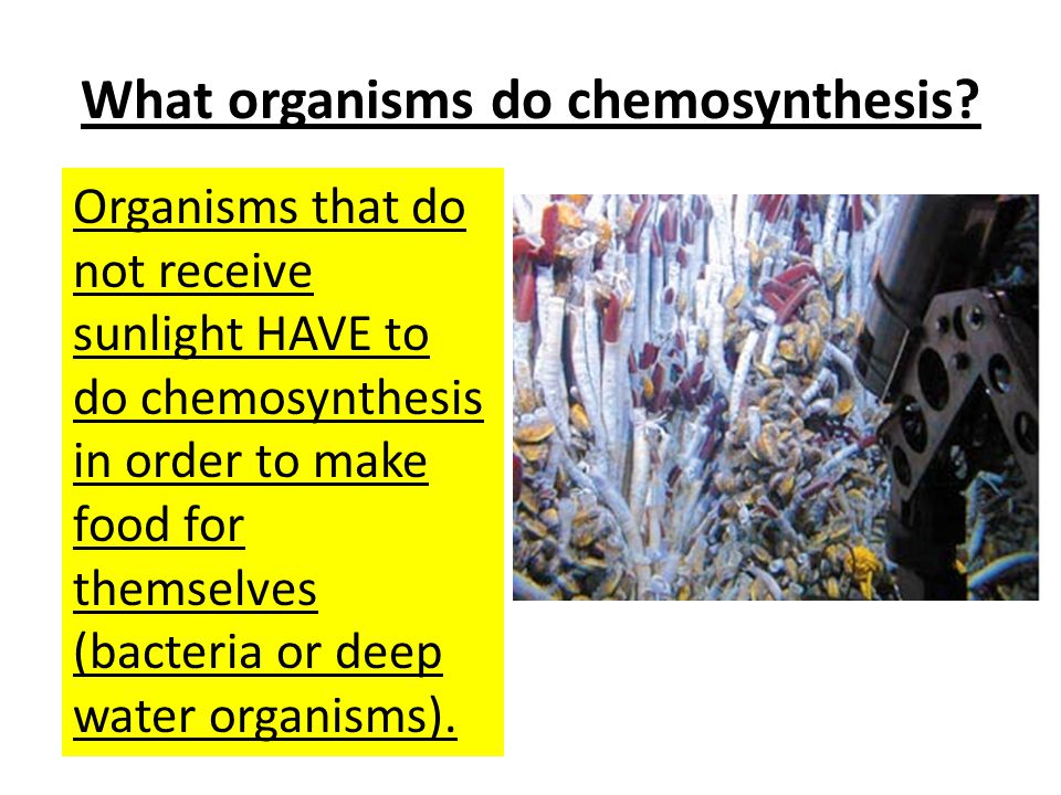 What organisms do chemosynthesis