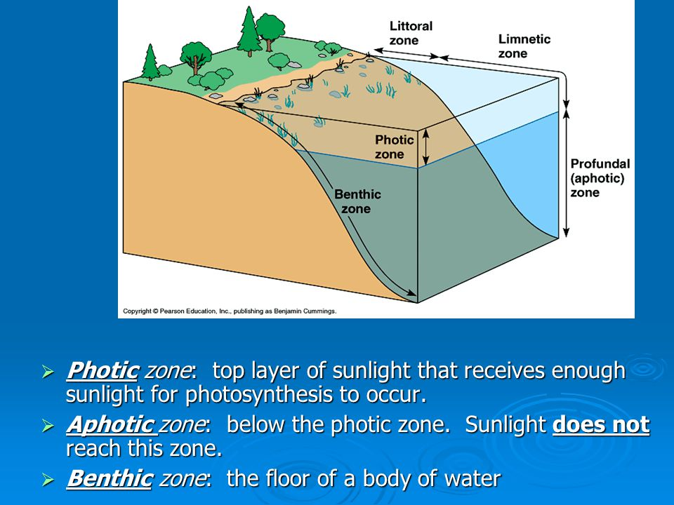 Photic zone: top layer of sunlight that receives enough sunlight for photosynthesis to occur.