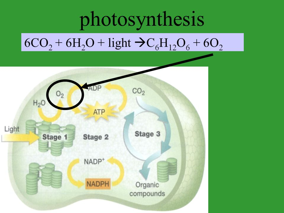 photosynthesis 6CO2 + 6H2O + light C6H12O6 + 6O2