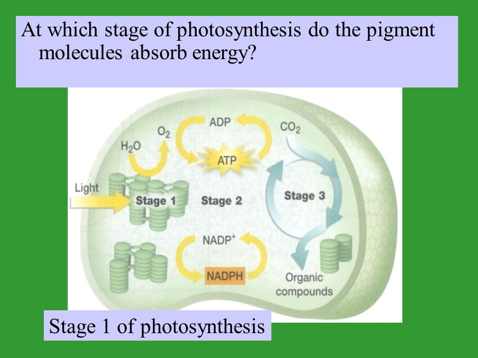 At which stage of photosynthesis do the pigment molecules absorb energy