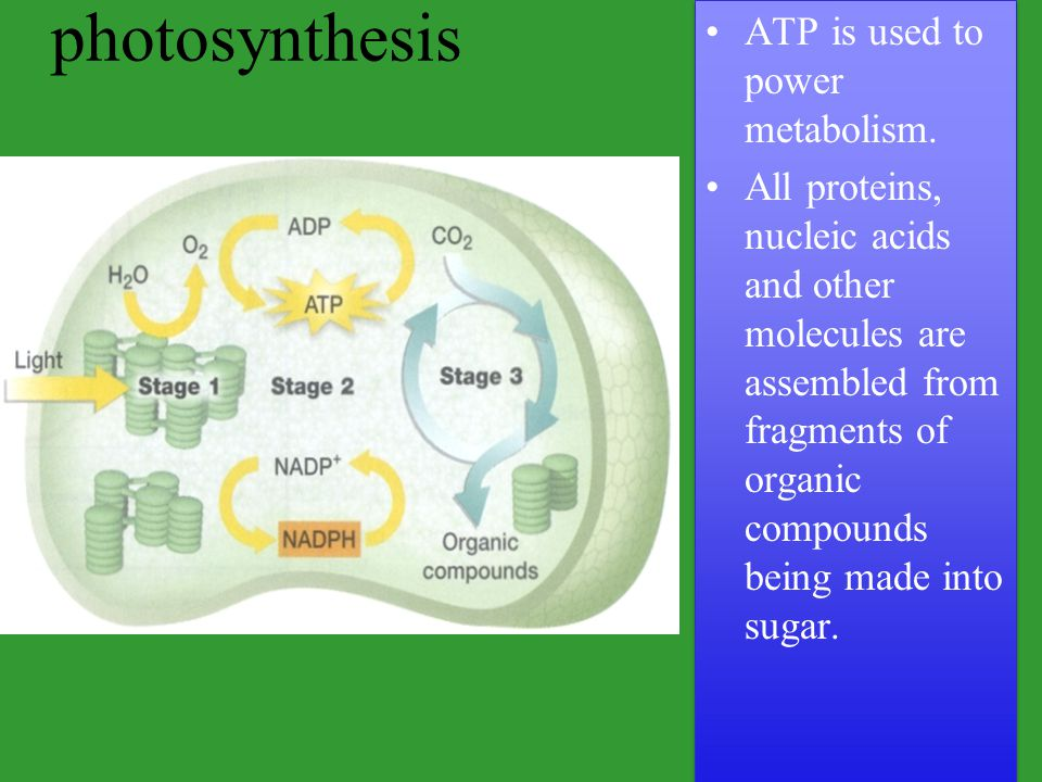 photosynthesis ATP is used to power metabolism.