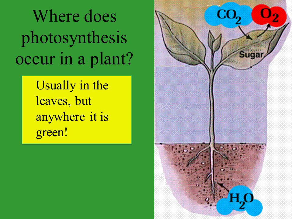 Where does photosynthesis occur in a plant