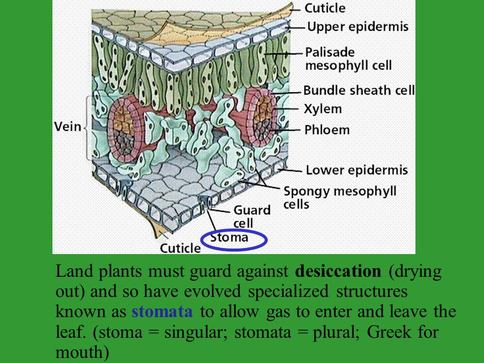 Land plants must guard against desiccation (drying out) and so have evolved specialized structures known as stomata to allow gas to enter and leave the leaf.