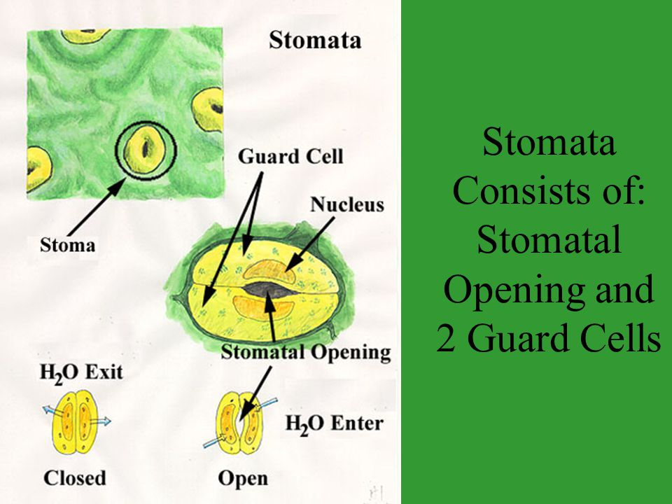Stomata Consists of: Stomatal Opening and 2 Guard Cells
