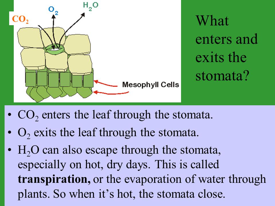 What enters and exits the stomata