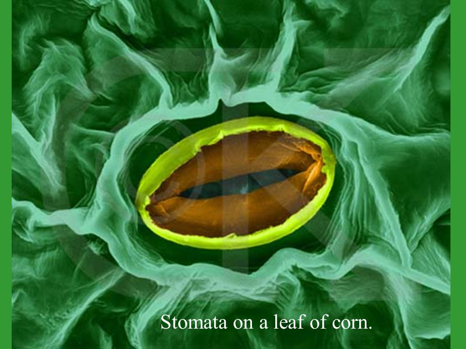 Stomata on a leaf of corn.