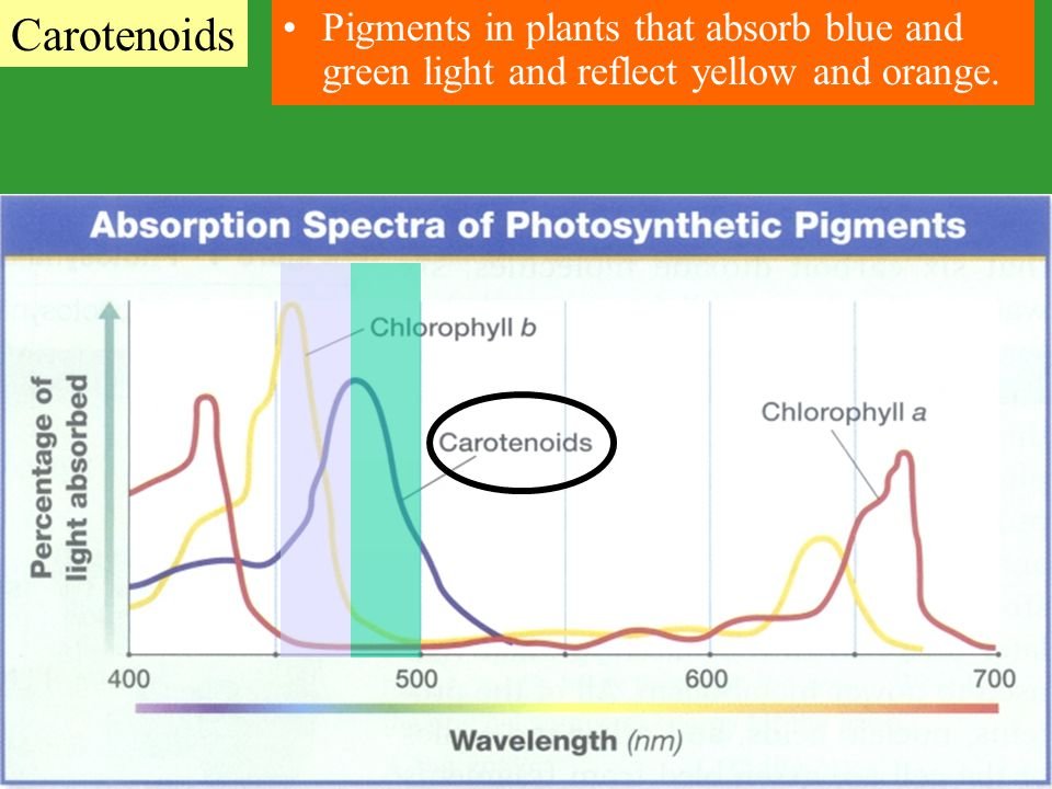 Carotenoids Pigments in plants that absorb blue and green light and reflect yellow and orange.