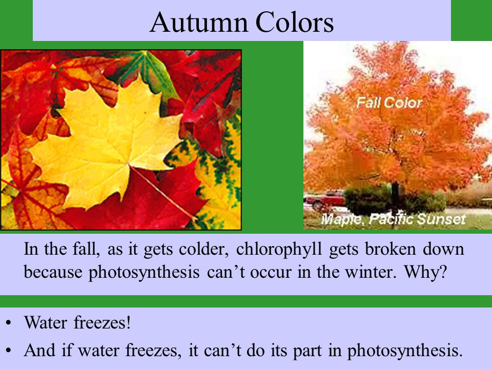 Autumn Colors In the fall, as it gets colder, chlorophyll gets broken down because photosynthesis can't occur in the winter. Why