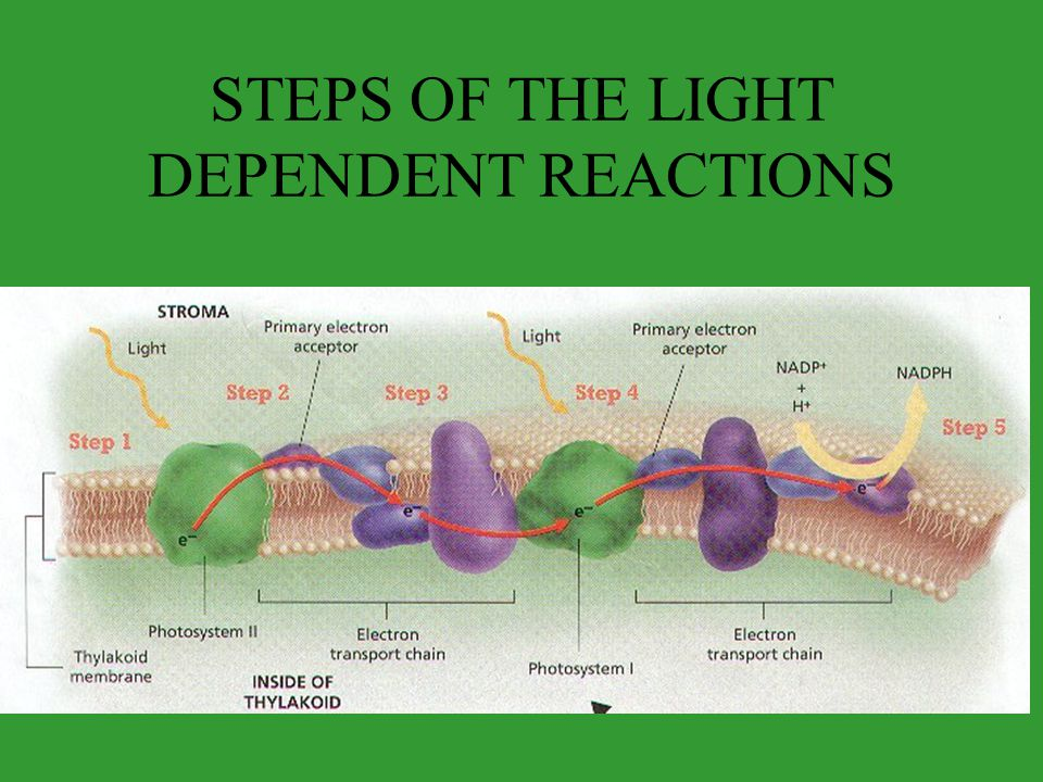 STEPS OF THE LIGHT DEPENDENT REACTIONS