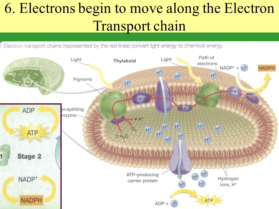 6. Electrons begin to move along the Electron Transport chain