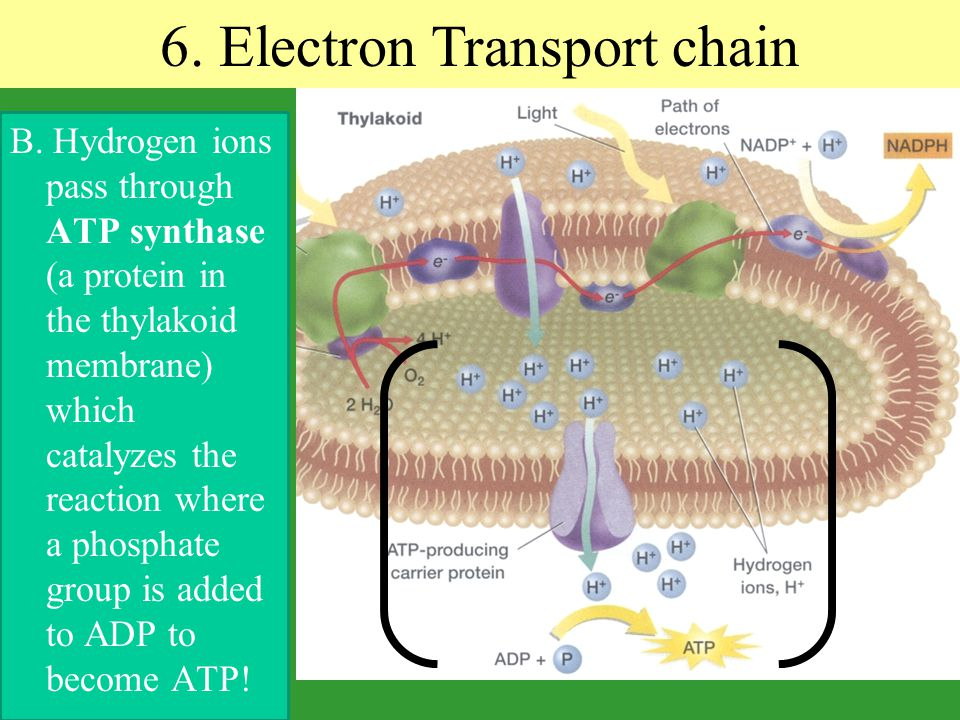 6. Electron Transport chain