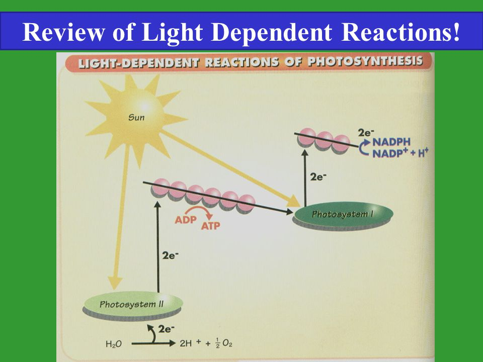 Review of Light Dependent Reactions!