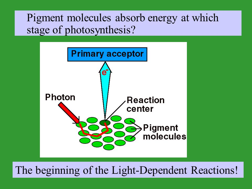 Pigment molecules absorb energy at which stage of photosynthesis