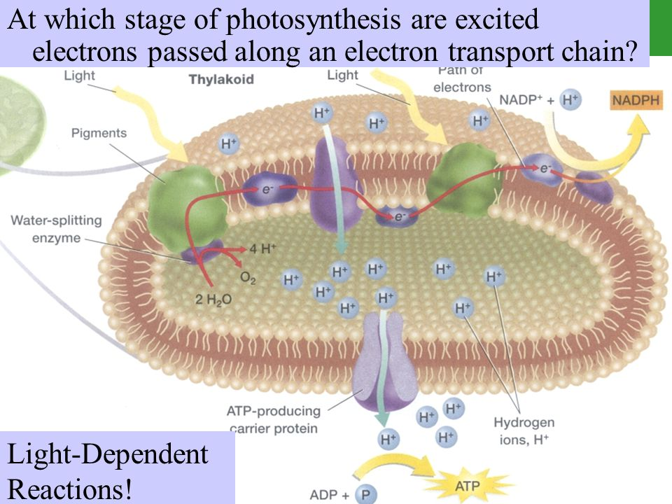 At which stage of photosynthesis are excited electrons passed along an electron transport chain