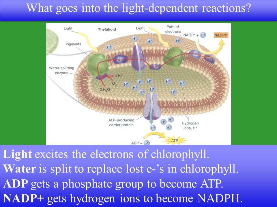 What goes into the light-dependent reactions