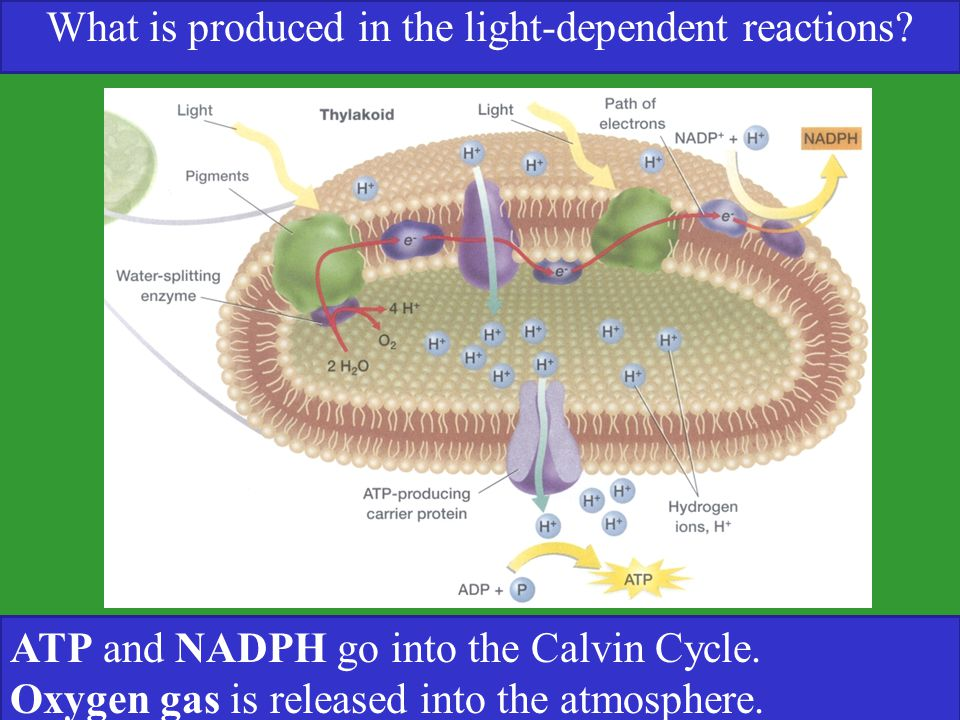 What is produced in the light-dependent reactions